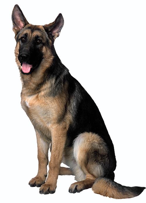 Les 4 races de chiens préférées des Francais